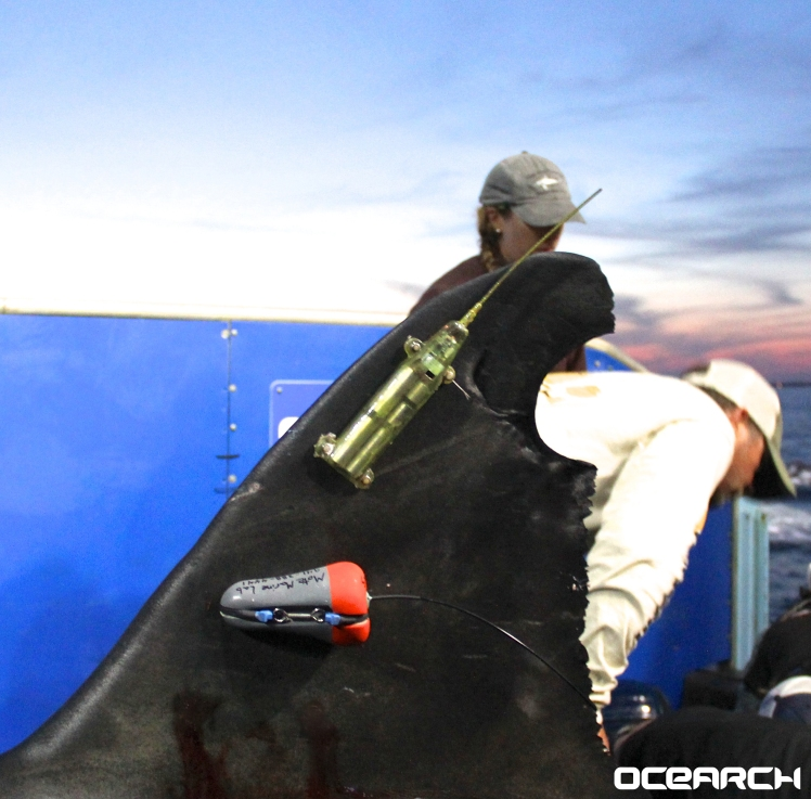 The GPS tag on Mary Lee's fin will allow OCEARCH to track the shark. (Photo: OCEARCH)